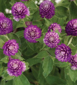 Lil' Forest™ Sugared Plum - Bachelor Button - Gomphrena hybrid