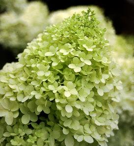 'Limelight' - Panicle Hydrangea - Hydrangea paniculata