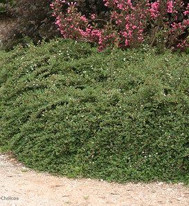 Little Dipper® - Cotoneaster procumbens