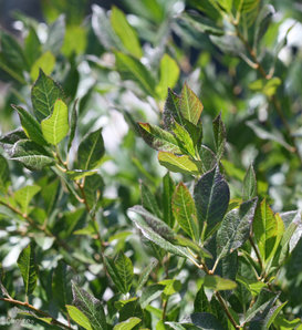 Little Goblin® Guy - Winterberry Holly - Ilex verticillata