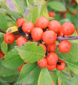 Little Goblin® Orange - Winterberry Holly - Ilex verticillata