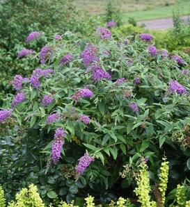 Lo & Behold® 'Purple Haze' - Butterfly Bush - Buddleia x