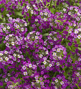 Dark Knight™ - Sweet Alyssum - Lobularia hybrid