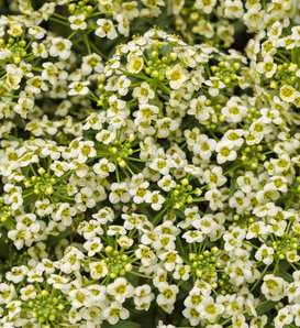 Moonlight Knight® - Sweet Alyssum - Lobularia hybrid