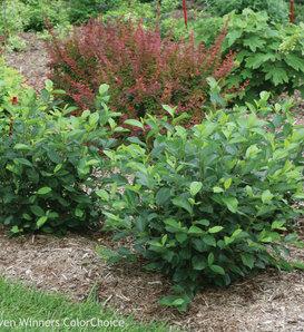 Low Scape Hedger® - Aronia melanocarpa