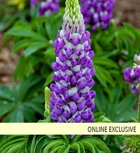 Mini Gallery™ Blue Bicolor - Lupine - Lupinus polyphyllus