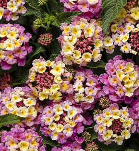 Luscious® Pinkberry Blend™ - Lantana camara