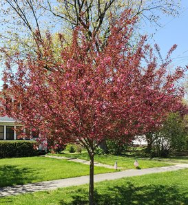 Show Time™ - Crabapple - Malus x