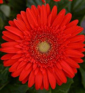 Mega Revolution™ Scarlet Red Light Eye - Gerbera Daisy - Gerbera jamesonii
