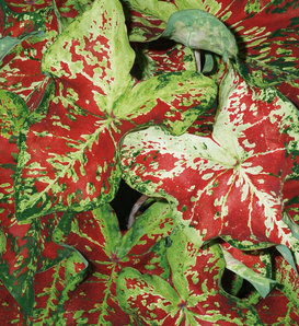Heart to Heart™ 'Mesmerized' - Fancy Caladium - Caladium hortulanum