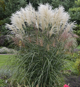 Encore - Ornamental Grass - Miscanthus sinensis