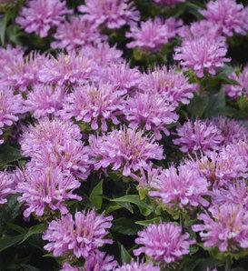 'Pardon My Lavender' - Bee Balm - Monarda didyma