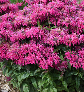 'Leading Lady Razzberry' - Bee Balm - Monarda hybrid