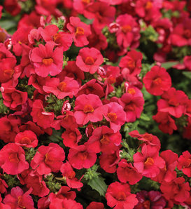 Sunsatia® Cranberry Red - Nemesia hybrid
