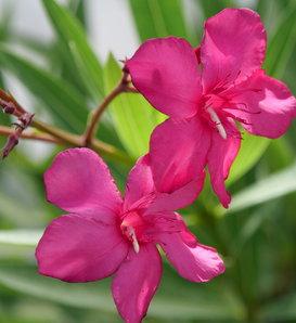 Austin Pretty Limits™ - Oleander - Nerium oleander