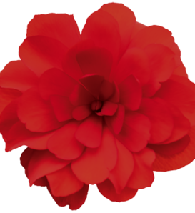 Nonstop® Joy Red - Tuberous Begonia - Begonia x tuberhybrida