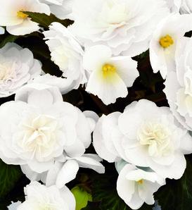 Nonstop® Joy Mocca White - Tuberous Begonia - Begonia x tuberhybrida