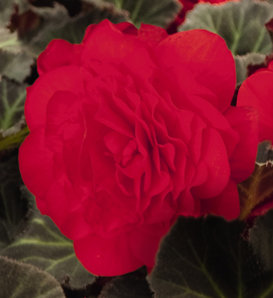 Nonstop® Mocca Cherry - Tuberous Begonia - Begonia x tuberhybrida
