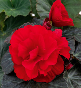 Nonstop® Mocca Deep Red - Tuberous Begonia - Begonia x tuberhybrida