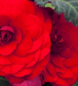 Nonstop® Mocca Red - Tuberous Begonia - Begonia x tuberhybrida