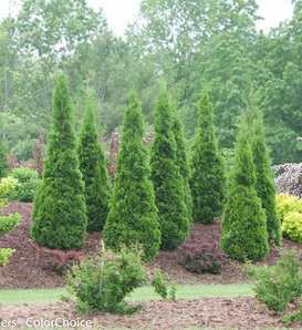 North Pole® - Arborvitae - Thuja occidentalis
