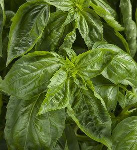 Amazel Basil® - Sweet Italian Basil - Ocimum hybrid