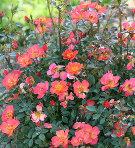 Oso Easy Hot Paprika® - Landscape rose - Rosa x