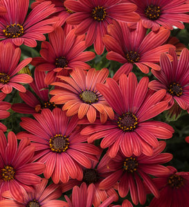 Bright Lights™ Red - African Daisy - Osteospermum hybrid
