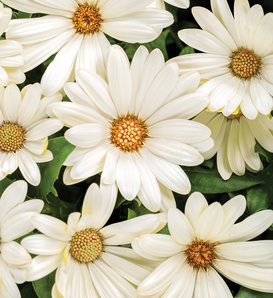 Bright Lights™ White - African Daisy - Osteospermum hybrid