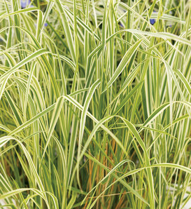 'Overdam' - Feather Reed Grass - Calamagrostis acutiflora