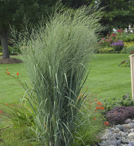 Prairie Winds® 'Totem Pole' - Switch Grass - Panicum virgatum