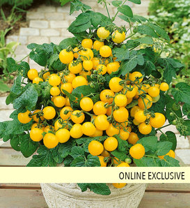 Tempting Tomatoes® Patio Sunshine - Cherry Tomato - Lycopersicon esculentum
