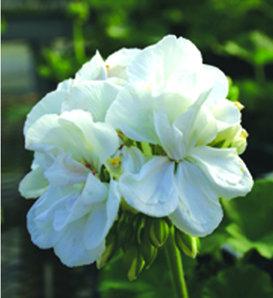 Daredevil® Snow - Zonal Geranium - Pelargonium zonale