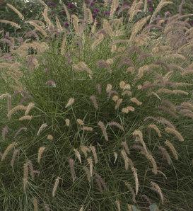Karley Rose - Oriental Fountain Grass - Pennisetum orientale