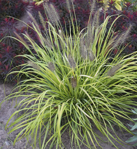 Prairie Winds® 'Lemon Squeeze' - Fountain Grass - Pennisetum alopecuroides