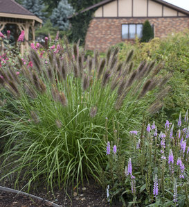 Puppy Love - Fountain Grass - Pennisetum alopecuroides