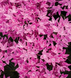 Sunstar® Lavender - Egyptian Star Flower - Pentas lanceolata