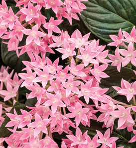 Sunstar® Pink - Egyptian Star Flower - Pentas lanceolata