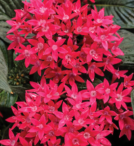 Sunstar® Red - Egyptian Star Flower - Pentas lanceolata