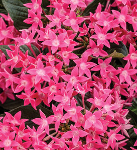 Sunstar® Rose - Egyptian Star Flower - Pentas lanceolata