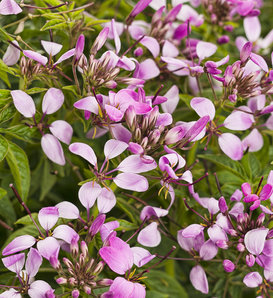 Pequeña Rosalita® - Spider Flower - Cleome hybrid