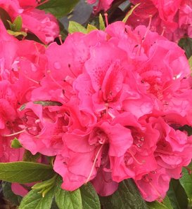 Perfecto Mundo® Double Dark Pink - Reblooming Azalea - Rhododendron x
