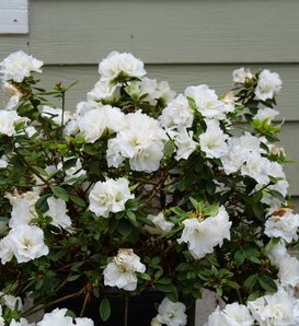 Perfecto Mundo® Double White - Reblooming Azalea - Rhododendron x