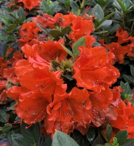 Perfecto Mundo® Orange - Reblooming Azalea - Rhododendron x