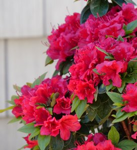 Perfecto Mundo® Red - Reblooming Azalea - Rhododendron x