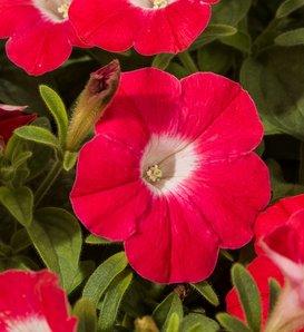 Blanket® Red - Petunia hybrid