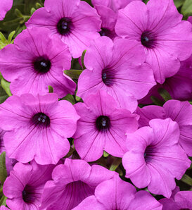 Supertunia Vista® Jazzberry™ - Petunia hybrid