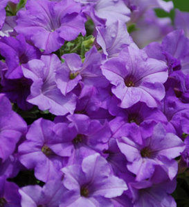 Surfinia® Heavenly Blue - Petunia hybrid