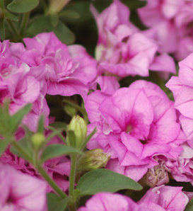 Surfinia® Summer Double™ Pink - Petunia hybrid