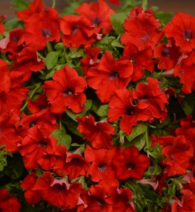 Surfinia® Trailing Red - Petunia hybrid